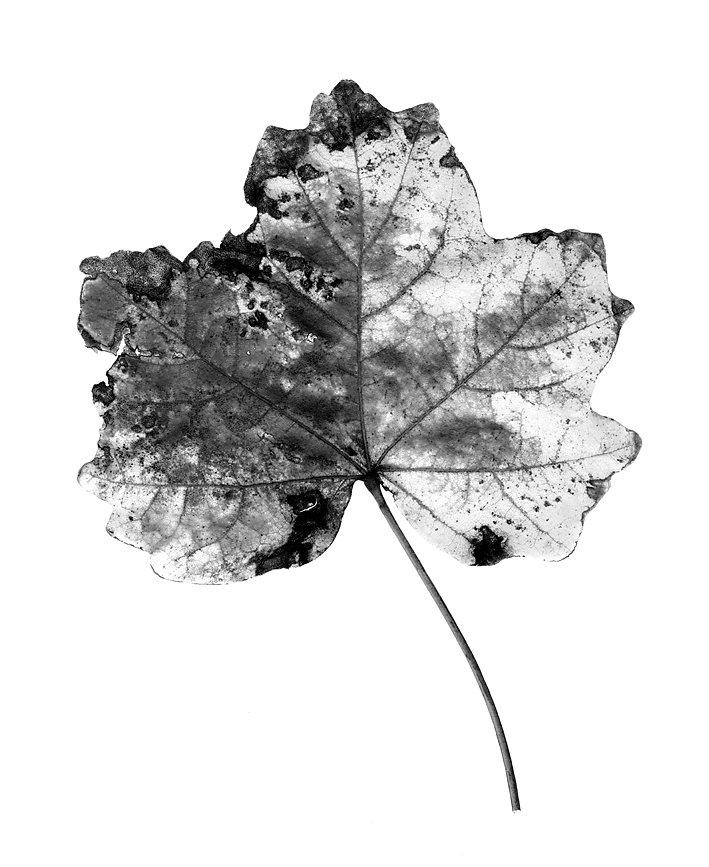 foglie-25b.JPG